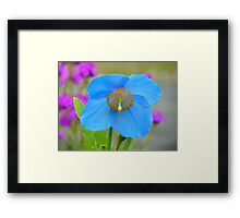 Dreams Of The Blue Poppy - Himalayan Blue Poppy - NZ Framed Print