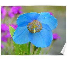 Dreams Of The Blue Poppy - Himalayan Blue Poppy - NZ Poster