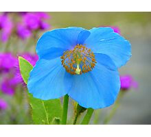 Dreams Of The Blue Poppy - Himalayan Blue Poppy - NZ Photographic Print