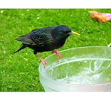 Hey!!!.. Who Ate All The Trifle? - Starling - NZ Photographic Print