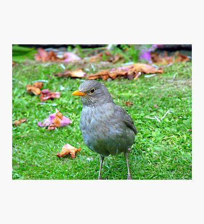 I Could Be A Collectors Item... - Blackbird - NZ Photographic Print