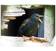 Hey!!! A Little Privacy Would Be Nice!!! - Starling - NZ Poster