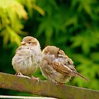 Sleep My Brother...I'll Keep Watch! - Sparrows - NZ by AndreaEL