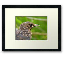 Oops.. Do I Have Egg On My Face? - Fledgling Blackbird - NZ Framed Print