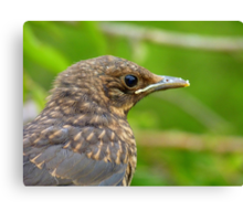 Oops.. Do I Have Egg On My Face? - Fledgling Blackbird - NZ Canvas Print