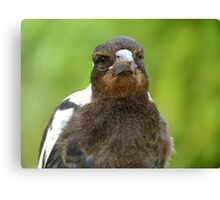 Did You Bring A Fresh Grub? - Baby Magpie - NZ Canvas Print