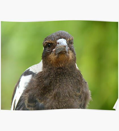 Did You Bring A Fresh Grub? - Baby Magpie - NZ Poster
