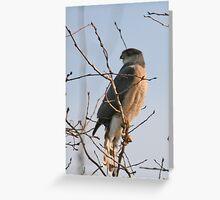 Sharp Shinned Hawk Greeting Card