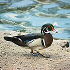 Wood Duck by chazz