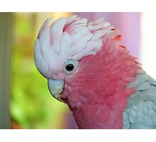 I'm In The Pink - Galah - NZ Photographic Print