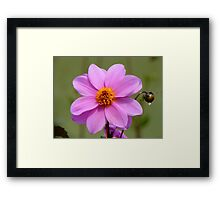 Dignity And Grace - Pink Dahlia - NZ Framed Print