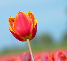 Eternal Life... - Tulip - NZ by AndreaEL
