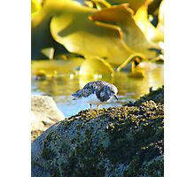 I Turn Stones For Food!!! - Turnstone Arenaria - NZ Photographic Print