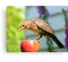 I'm Not In The Mood To Share This One!! - Juvenile Blackbird - NZ Canvas Print