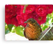 Roses Are Red... Violets Are Blue... - Blackbird - NZ Canvas Print