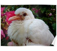 I Bring Peace & Love To YOU!! - White Ringneck Dove - NZ Poster