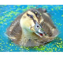 Oh Come On In... Join Me!!! - Mallard Duckling - NZ Photographic Print