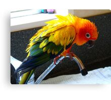 Hey Isn't This Supposed To Be Water On Tap.. Sunconure - NZ Canvas Print