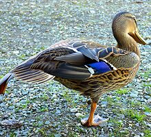 Getting Ready For Flying School - Mallard Duck - NZ by AndreaEL