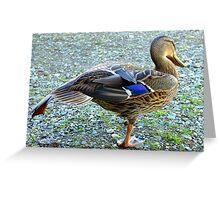 Getting Ready For Flying School - Mallard Duck - NZ Greeting Card