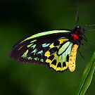 Cairns Birdwing Butterfly by Robbie McDowall