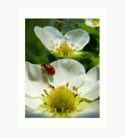 The Strawberry Lady... - Ladybird On Strawberry Flower - NZ Art Print