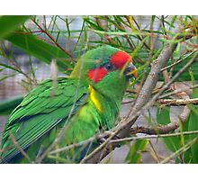 Could I Win A Beauty Contest? - Musk Lorikeet - NZ Photographic Print