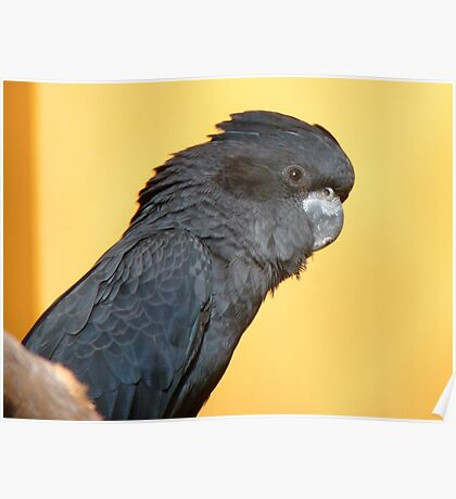 Black Is Black... I Want My Baby Back... - Black Cockatoo - NZ Poster