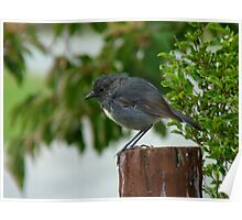Are You Going To Disturbed Some Invertebrates For Me? - South-Island Robin - NZ Poster