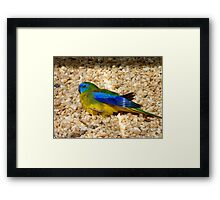 Humans Are Not The Only Ones To Sunbathe - Scarlet-Chested Parrot - NZ Framed Print