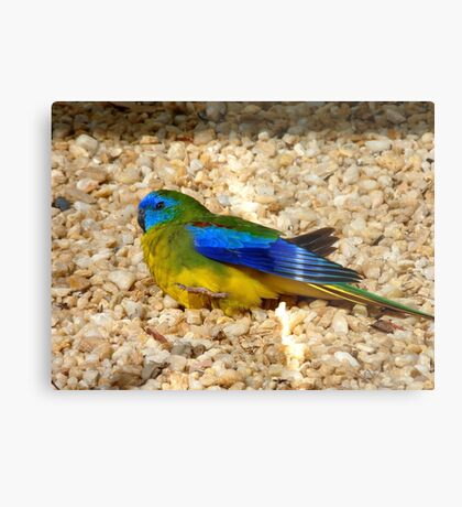 Humans Are Not The Only Ones To Sunbathe - Scarlet-Chested Parrot - NZ Metal Print
