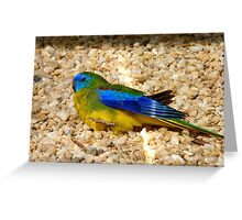 Humans Are Not The Only Ones To Sunbathe - Scarlet-Chested Parrot - NZ Greeting Card