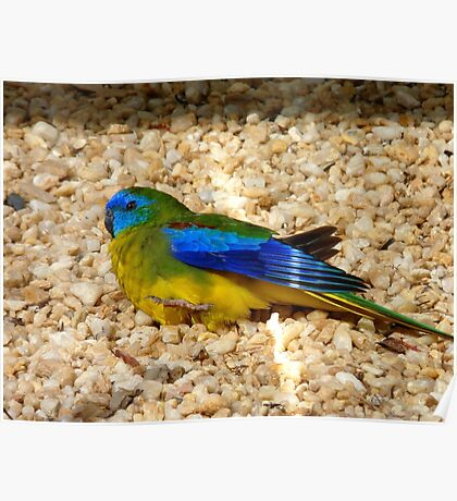 Humans Are Not The Only Ones To Sunbathe - Scarlet-Chested Parrot - NZ Poster
