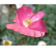 Candy Pop - Pink Poppy - Otago - NZ Photographic Print