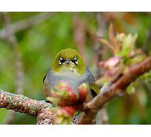 I Am NEVER Grumpy!!! - Silver-Eye - NZ Photographic Print