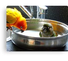 It's Not A Bird Bath... It's A Pan Bath LOL... - Conures - NZ Canvas Print