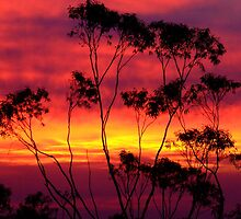 Silhouetted Gum......... by debsphotos