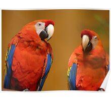 We're A Ravishing Pair... Scarlet Macaws - Otago Poster