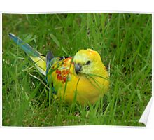 I'm Definitely Not Plain... I'm Opalescent - Opaline Red Rump Parakeet - NZ Poster