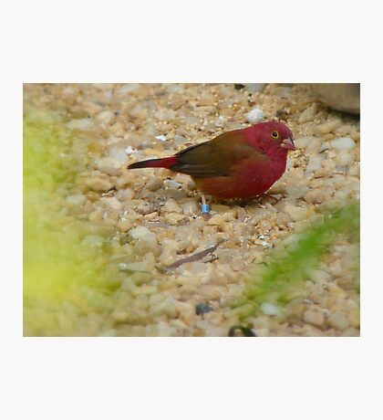 I'm The Red Factor Type!!! - Red Bronze Canary - NZ Photographic Print