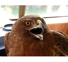 Yipeee!!... I'm Off To The Vet! - Harrier Hawk - NZ Photographic Print