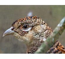 I See, Eye See You!! - Female Pheasant - NZ Photographic Print