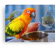 Evolution of the shovel  Sun Conure - NZ Canvas Print