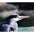 Grey Heron by Jörg Holtermann