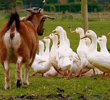 Come On Come On...I'd Like My Ducks In A Row!!! - Goat & Peking Ducks - NZ by AndreaEL