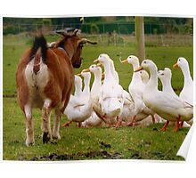 Come On Come On...I'd Like My Ducks In A Row!!! - Goat & Peking Ducks - NZ Poster