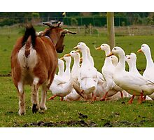 Come On Come On...I'd Like My Ducks In A Row!!! - Goat & Peking Ducks - NZ Photographic Print