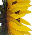 Profile of a Sunflower by Jamie  Fox