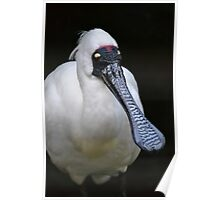 Royal Spoonbill Poster