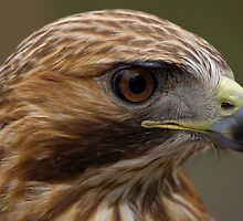 Hawk Eye by Margaret Barry